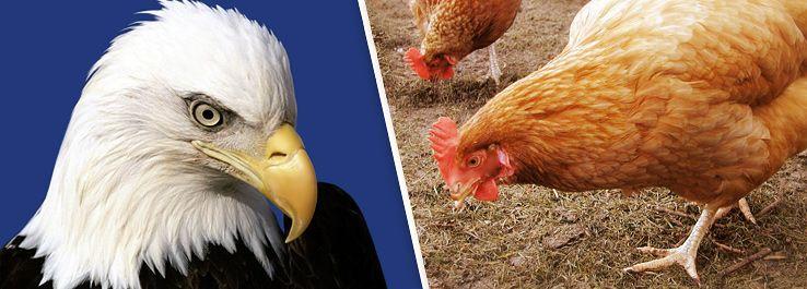 Você é águia Ou Galinha