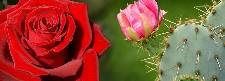A Rosa E O Cacto Histórias Para Reflexão